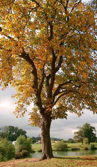 Kastenienbaum